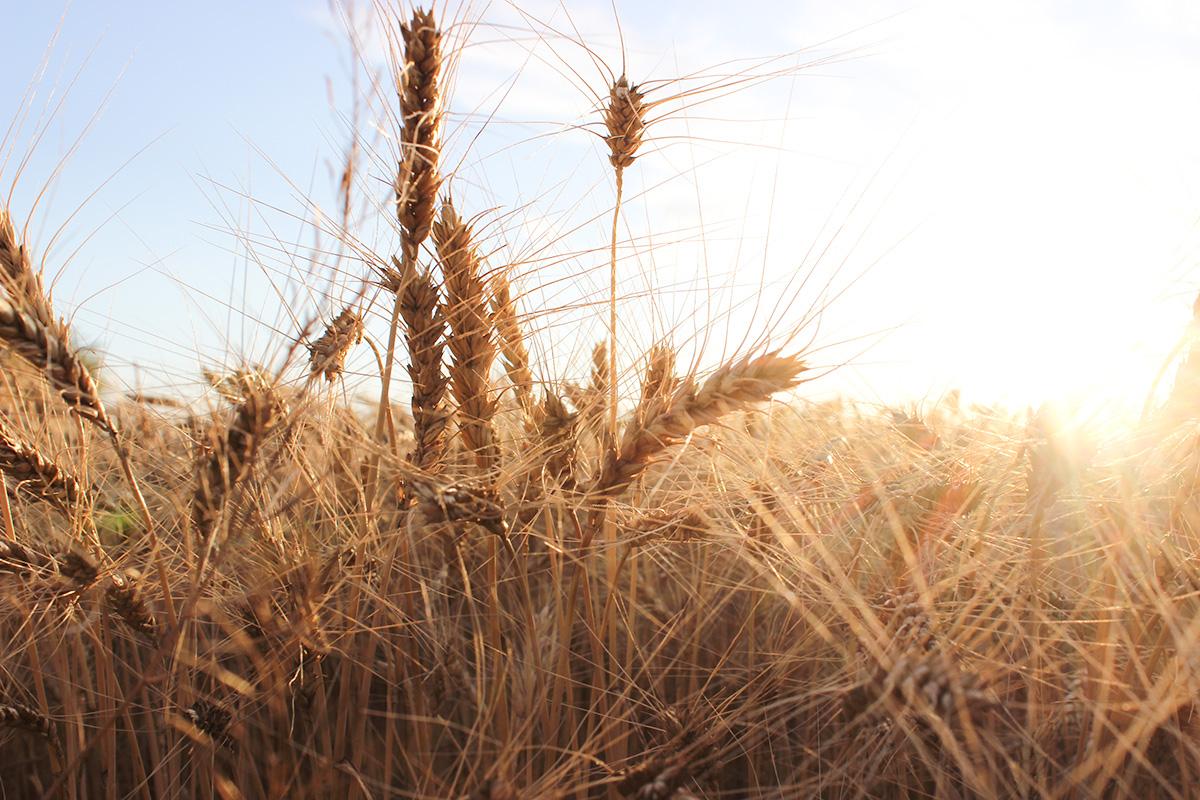 пшеничное поле и солнце